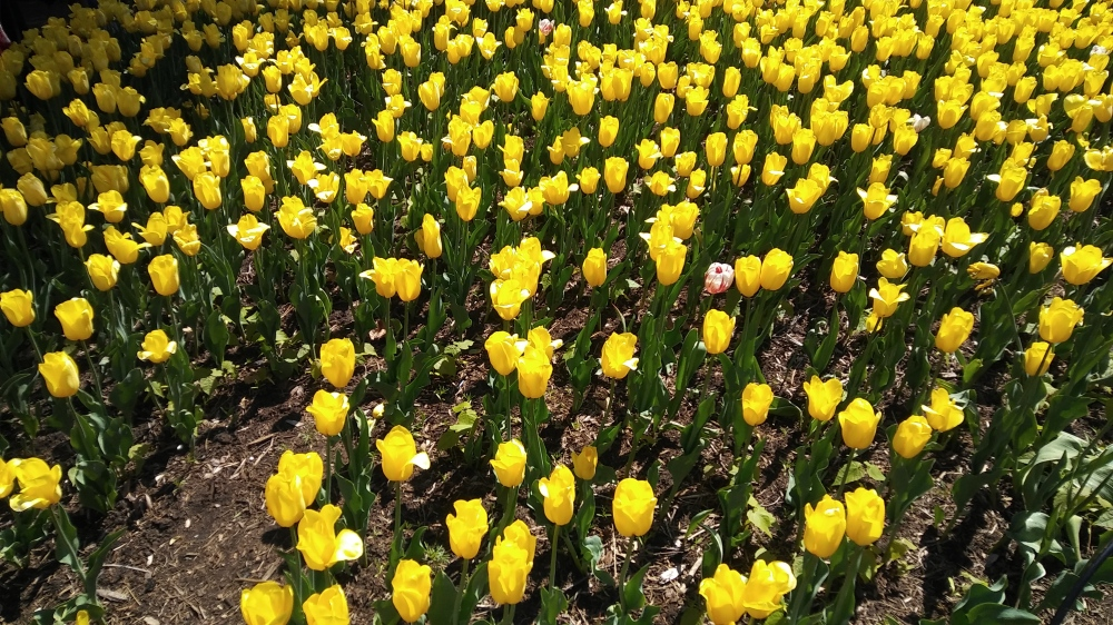 Bright yellow tulips.jpg