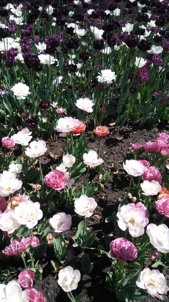 Tulips!.jpg
